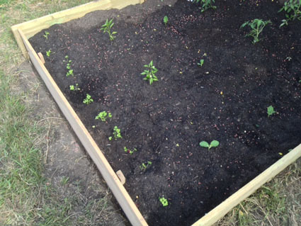 Gratuitous shot of vegetables that have been planted...